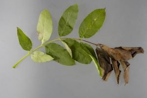 Ash Dieback: The Greatest Tree Disease Epidemic of Our Time